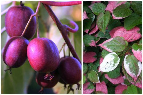 Пурпурная (A. purpurea)