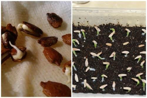 Размножение акебии семенами