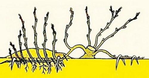 Размножение отводами