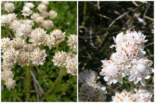Антеннария dioica (L.) Gaertn