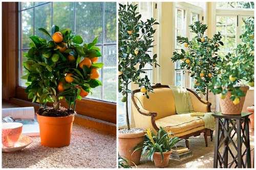 Апельсиновое деревце в интерьере