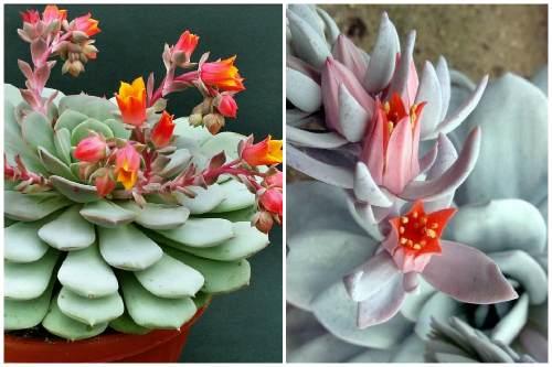 Цветы Эчиверии