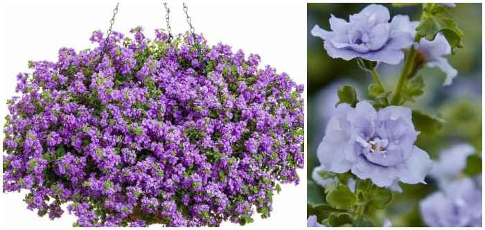 Дабл Лавендер махровая (Sutera diffusus Baristo Double Lavender)