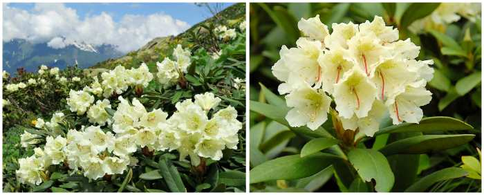 Рододендрон Кавказский (Rhododendron caucasicum)