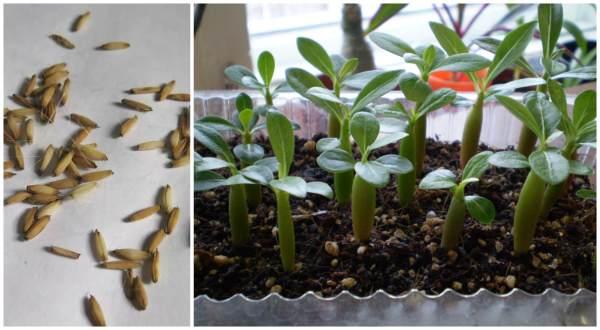 Семена и сеянцы адениума