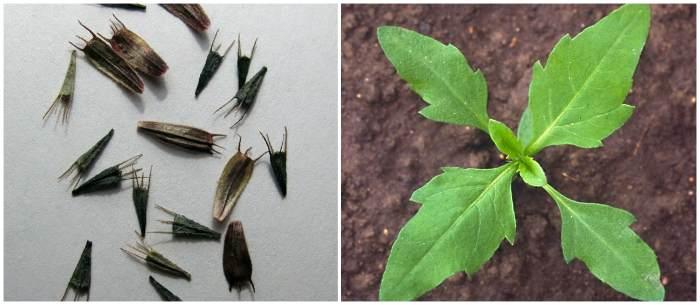 Семена и всходы биденс