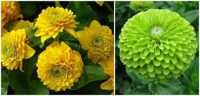 Циния георгиноцветная Flore pleno (Флоре плено)