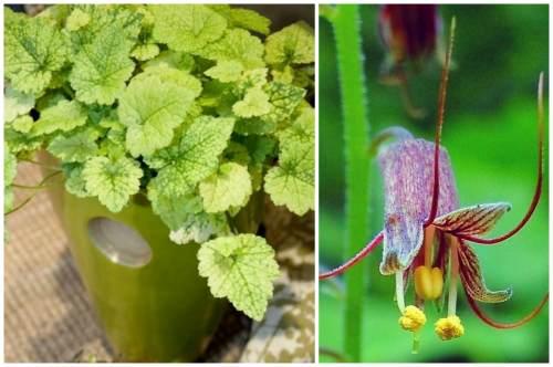 Общий вид и цветок растения