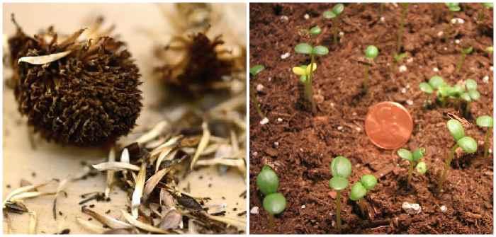 Семена и всходы