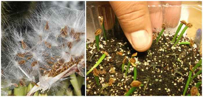 Семена и сеянцы гуэрнии