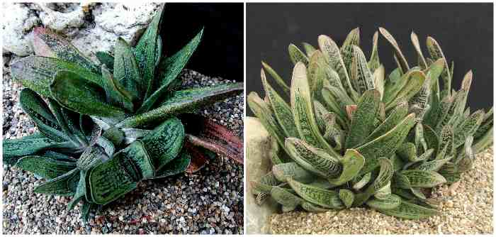 Gasteria Little Warty (Литл Варти)