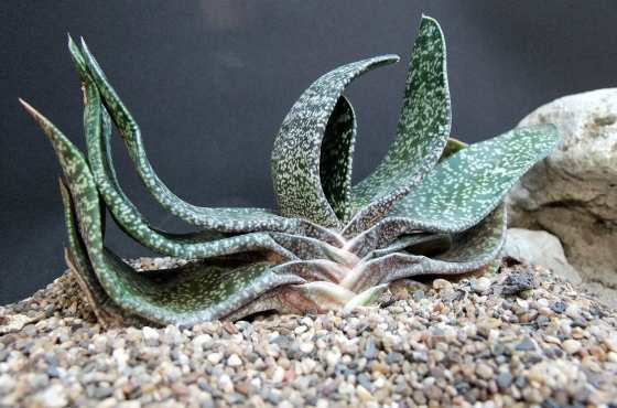 Gasteria brachyphylla (Брахифилла мраморная)