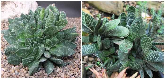 Gasteria maculata (гастерия пятнистая)