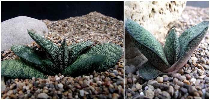 Гастерия Батесиана (G. batesiana)
