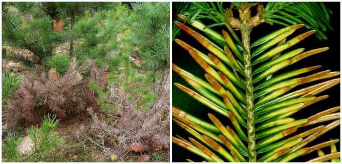 Фацидиоз хвойных деревьев