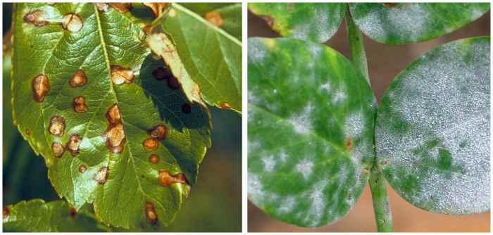 Альтернариоз и мучнистая роса на листьях