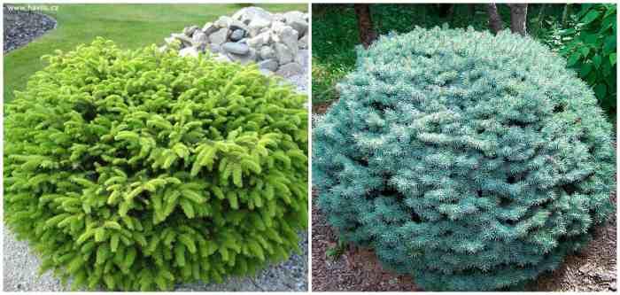 Ель обыкновенная Нидиформис и ель голубая Picea Glauca Globosa