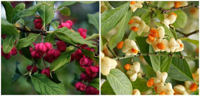 Плоды Euonymus europaeus