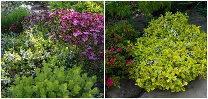 Садовые композиции с бересклетом