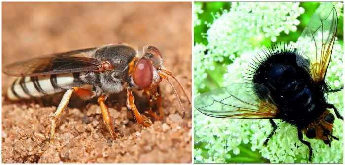Тахинная муха и оса-крабронида