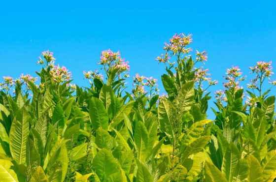 Цветущий табак