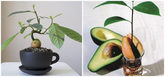 Дерево из косточки авокадо