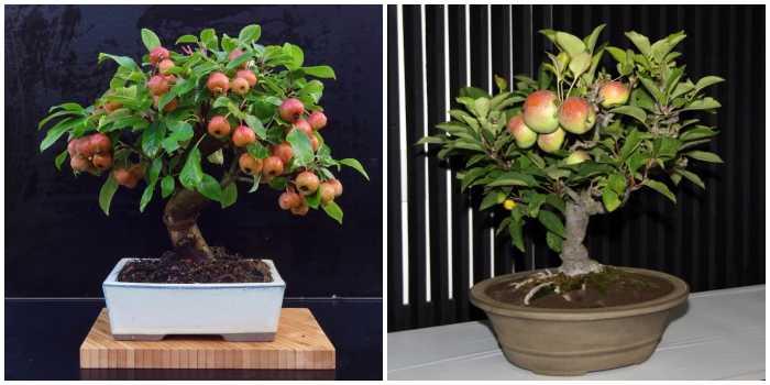 Карликовая яблоня бонсай