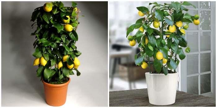 Лимон в кашпо