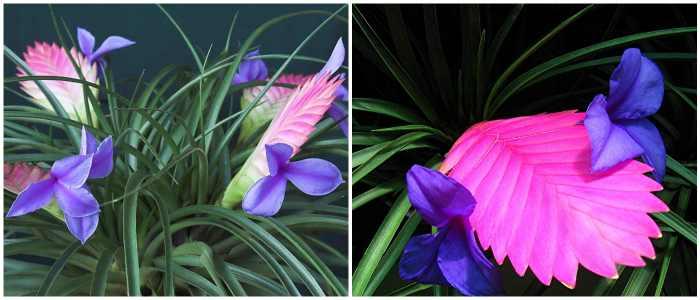 Тилландсия Cyanea (тилландсия синяя)