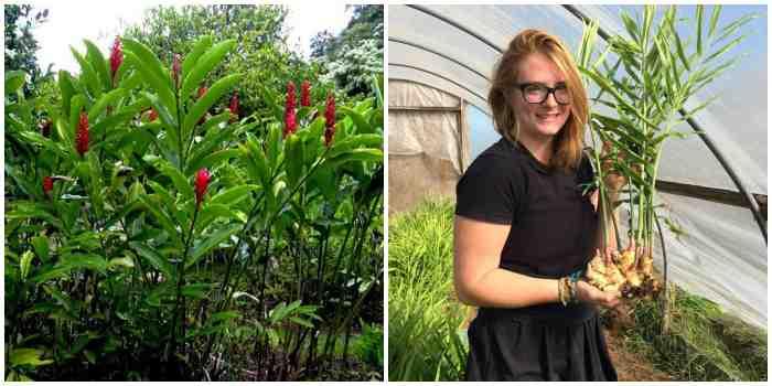 Выращивание имбиря в открытом грунте
