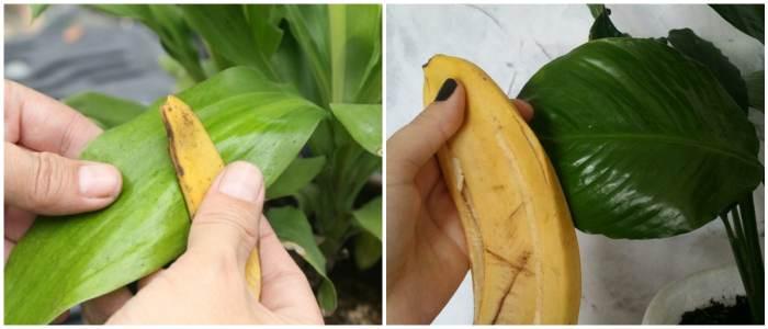 Очистка листьев банановой кожурой