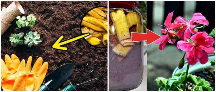 Удобрения из банановой кожуры для комнатных растений