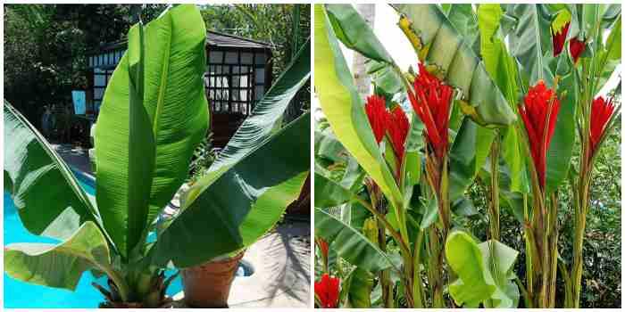 Снежный банан (Ensete glaucum) и Красный карлик (Musa coccinea)